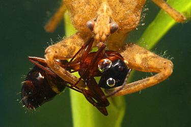Water Scorpion (Nepa cinerea) with ant prey Europe, July  -  Jan Hamrsky/ npl