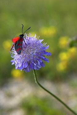 Burnet moth feeding on Devil's Bit Scabious (Succisa pratensis) flower Picardy, France, July  -  Pascal Tordeux/ npl