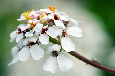 Wild Candytuft (Iberis amara) A rare plant found on disturbed chalk soils often around rabbit warrens Bedfordshire, England, June  -  Andy Sands/ npl