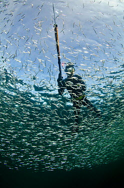 Spear fisherman swimming through a school of Sand eels (Ammodytes tobianus) Rosehearty, Moray Firth, Scotland, UK  -  Alex Mustard/ 2020V/ npl