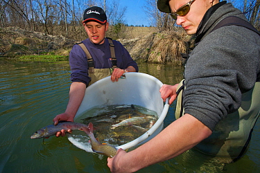 Fish biologists returning caught Grayling (Thymallus thymallus) for artificial insemination and breeding River Pielach, southwest of Munich, Bavaria, Germany, March  -  Florian Mollers/ npl