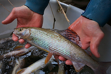 Fish biologists holding a Grayling (Thymallus thymallus) needed for artificial insemination and breeding River Pielach, southwest of Munich, Bavaria, Germany, March  -  Florian Mollers/ npl