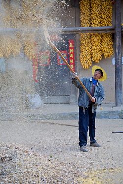 Chinese farmers 'separating the wheat from the chaff', here with yellow peas (Pisum sativum) Zhouzhi Nature Reserve, Shaanxi, China, October 2006  -  Florian Mollers/ npl