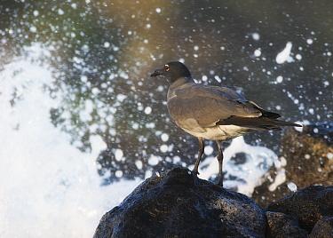 Lava Gull (Leucophaeus fuliginosus) on igneous coastal rocks Galapagos  -  Ole Jorgen Liodden/ npl
