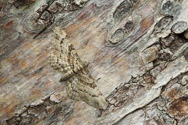 Double-striped pug moth (Gymnoscelis rufifasciata) resting on tree bark, Banbridge, County Down, Northern Ireland, UK, July  -  Robert Thompson/ npl