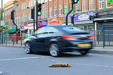 Dead urban Red fox (Vulpes vulpes) run over in West London, UK, June 2011  -  Terry Whittaker/ 2020V/ npl