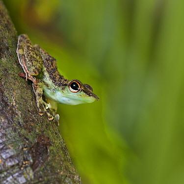 Black-spotted Rock Frog (Staurois natator) Centre of Maliau Basin, Sabah's 'Lost World', Borneo  -  Nick Garbutt/ npl