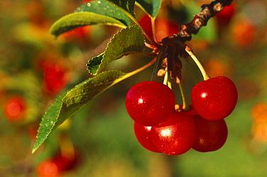 Cherries on Cherry tree (Prunus cerasus) Wisconsin, USA  -  Thomas Lazar/ npl