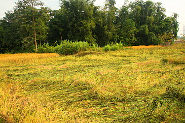 Agricultural crops trampled by Indian elephant (Elephas maximus), India  -  Vivek Menon/ npl
