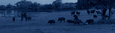 Starlight camera image in moonlight of Eurasian wild boar (Sus scrofa) feeding on carcass of Spotted deer stag (Axis axis) watched by Asian water buffalo (Bubalas bubalas) while the leopard (Panthera...  -  Martin Dohrn/ npl