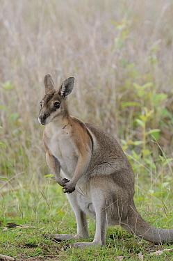 Bridled nailtail wallaby (Onychogalea fraenata) Queensland, Australia, Endangered species, October  -  Dave Watts/ npl