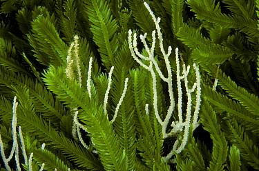 Seafan coral (Eunicella cavolini) amongst invasive algae (Caulerpa taxifolia) Strait of Messina, Southern Italy  -  Roberto Rinaldi/ npl