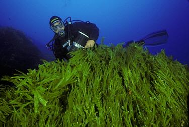 Diver viewing mass of invasive algae (Caulerpa taxifolia), Strait of Messina, Southern Italy  -  Roberto Rinaldi/ npl