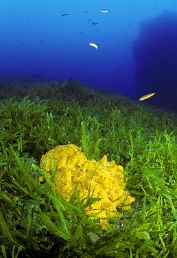 Sponge (Aplysina aerophoba) amongst mass of invasive algae (Caulerpa taxifolia) with Rainbow wrasse fish (Coris julis), Strait of Messina, Southern Italy  -  Roberto Rinaldi/ npl