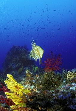 John Dory fish (Zeus faber) on coral reef, Strait of Messina, Southern Italy  -  Roberto Rinaldi/ npl