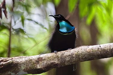 Magnificent riflebird (Ptiloris magnificus) male perched in rainforest, Iron Range National Park, Cape York Peninsula, North Queensland, Australia, November  -  Konrad Wothe/ NPL