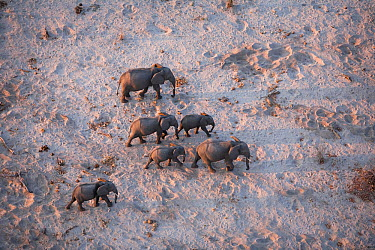Aerial view of African elephant family (Loxodonta africana) traveling through parched landscape during drought conditions, Northern Botswana Taken on location for BBC Planet Earth series, October 2005  -  Ben Osborne/ npl