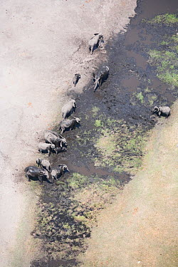 Aerial view of African elephants (Loxodonta african) bathing in mud on the banks of the Linyanti River, Botswana Taken on location for BBC Planet Earth series, 2005  -  Ben Osborne/ npl