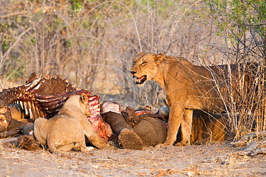 African lions (Panthera leo) feed on carcass of an Elephant (Loxodonta africana) that they killed the previous night The lion on the right is threatening new arrivals off to the left of the picture Sa...  -  Ben Osborne/ npl