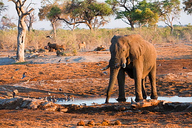 Solitary African elephant (Loxodonta africana) remains vigilant near African lions (Panthera leo) resting in background at a waterhole, Savuti, Northern Botswana The animals are forced to share waterh...  -  Ben Osborne/ npl