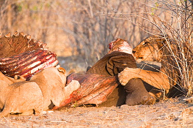 African lions (Panthera leo) feed on carcass of an Elephant (Loxodonta africana) that they killed the previous night, Savuti, Northern Botswana Taken on location for BBC Planet Earth series, 2005  -  Ben Osborne/ npl