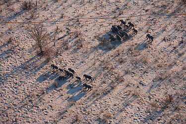 Aerial view of African elephant herd (Loxodonta africana) traveling through parched landscape during drought conditions, Northern Botswana Taken on location for BBC Planet Earth series, October 2005  -  Ben Osborne/ npl