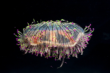 Flower Hat Jelly, Jellyfish (Olindias formosa), a rare hydromedusa with fluorescent tentacle tips Endemic to Brazil, Argentina, and southern Japan  -  Doug Perrine/ npl