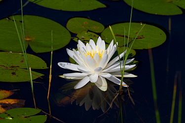 Fragrant white water lily (Nymphaea odorata) flowering, Deep River, Connecticut, USA, July  -  Lynn M. Stone/ npl