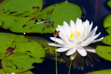 Blue dasher dragonfly (Pachydiplax longipennis) resting near Fragrant white water lily (Nymphaea odorata) flower, Deep River, Connecticut, USA, July  -  Lynn M. Stone/ npl