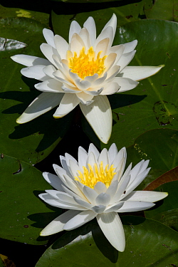 Two Fragrant water lily (Nymphaea odorata) flowers in pond, East Haddam, Connecticut, USA, July  -  Lynn M. Stone/ npl
