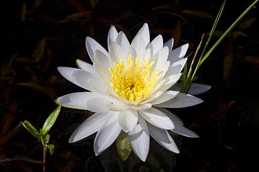 Fragrant white water lily (Nymphaea odorata) flower, Deep River, Connecticut, USA, July  -  Lynn M. Stone/ npl