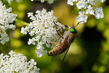 Horsefly, Horse fly, Cleg fly (Tabanus promesogaeus) feeding from Wild carrot, Queen Anne's lace (Daucus carota) flowers, Lesbos, Lesvos, Greece, May  -  Nick Upton/ npl