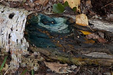 Green Elfcup fungus, Green Staining fungus (Chlorociboria aeruginascens) on Birch log, Kent, UK, September  -  Adrian Davies/ npl