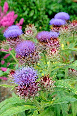 Cardoons (Cynara cardunculus) in full flower in ornamental border, UK, August  -  Gary K. Smith/ npl