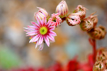 Houseleek (Sempervivum sp) flower spike, UK, July  -  Gary K. Smith/ npl