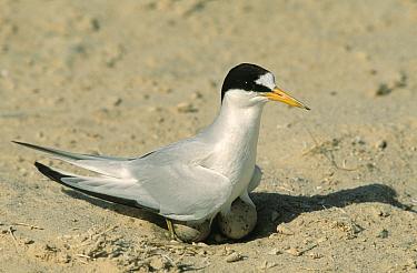 Saunders', Black shafted tern (Sterna saundersi) standing over nest with two eggs, Oman  -  Hanne & Jens Eriksen/ npl