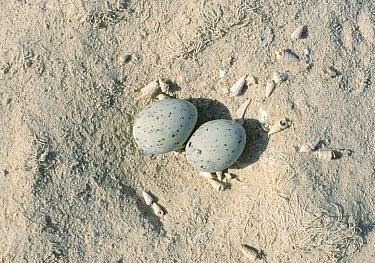 Saunders', Black shafted tern (Sterna saundersi) nest with two eggs, Oman  -  Hanne & Jens Eriksen/ npl