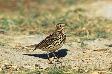 Red throated pipit (Anthus cervinus) on the ground, Oman, January  -  Hanne & Jens Eriksen/ npl
