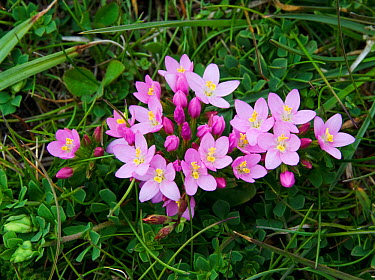 Perenial Centaury (Centaurium sp) flowering in grassland, The Burren, Co Clare, Ireland, July  -  Roger Powell/ npl