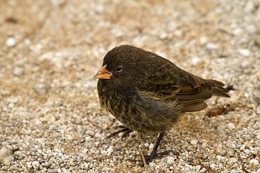 Small ground finch (Geospiza fuliginosa) female, Genovesa Island, Galapagos  -  John Abbott/ NPL