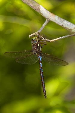 Springtime darner dragonfly (Basiaeschna janata) male (posed), Texas, USA, April  -  John Abbott/ NPL