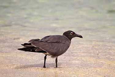 Lava gull (Leucophaeus fuliginosus) on beach, Genovesa Island, Galapagos  -  John Abbott/ NPL