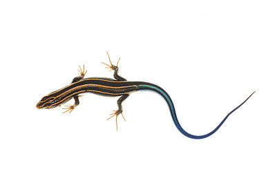 Five-lined Skink (Eumeces fasciatus) Dacusville, Pickens County, South Carolina, USA, April meetyourneighboursnet project  -  MYN/ Clay Bolt/ NPL