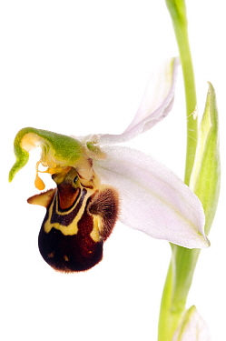 Bee orchid (Ophrys apifera) a self fertilising species, locally frequent in the UK on limestone and chalk and widespread throughout Europe, Italy, May meetyourneighboursnet project  -  MYN/ Paul Harcourt Davies/ npl