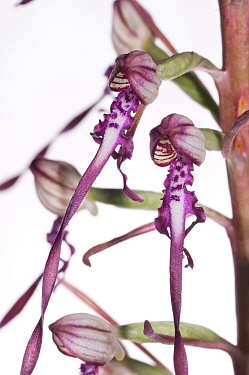 Adriatic Lizard orchid (Himantoglossum adriaticum) Italy, May meetyourneighboursnet project  -  MYN/ Paul Harcourt Davies/ npl