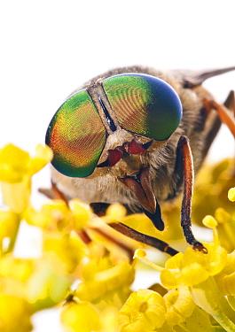 Horsefly (Tabanus bovinus) male feeding on flower nectar (the females are blood suckers) Lazio, Italy, July meetyourneighboursnet project  -  MYN/ Paul Harcourt Davies/ npl