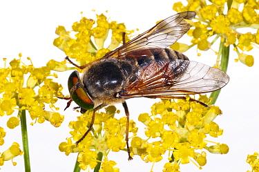 Horsefly (Tabanus bovinus) male feeding on Fennel flower nectar (the females are blood suckers) Lazio, Italy, July meetyourneighboursnet project  -  MYN/ Paul Harcourt Davies/ npl