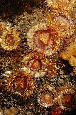Sea anemones (Sagartia elegans miniata), St Abbs (St Abbs and Eyemouth Voluntary Marine Reserve), Berwickshire, Scotland, UK, August 2011  -  Linda Pitkin/ 2020V/ npl