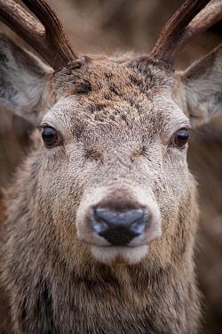Close-up portrait of Red deer (Cervus elaphus) stag, face partly obscured, Lochaber, West Highlands, Scotland, February  -  Mark Hamblin/ 2020V/ npl