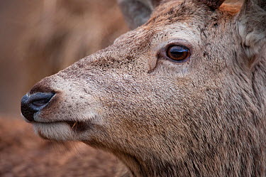 Close-up profile of Red deer (Cervus elaphus) stag, face partly obscured, Lochaber, West Highlands, Scotland, February  -  Mark Hamblin/ 2020V/ npl